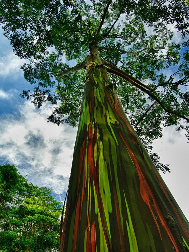 eucalipto arcoiris 88